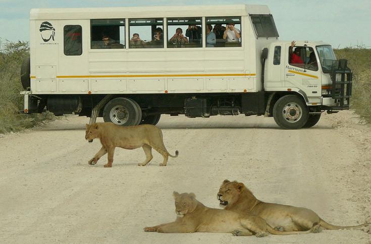 Avvistamento di leonesse