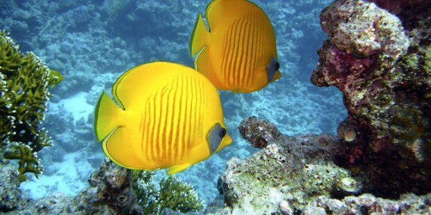 Pesci del Mar Rosso